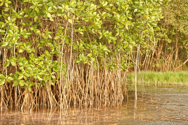 Magroves in Sri Lanka. Photo Credit: Teng Wei