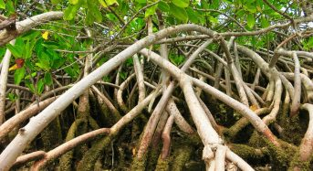 Governments Ill-Equipped to Protect Mangroves, Need to Involve Communities – Global Study