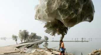 Pakistan Spider Web Trees