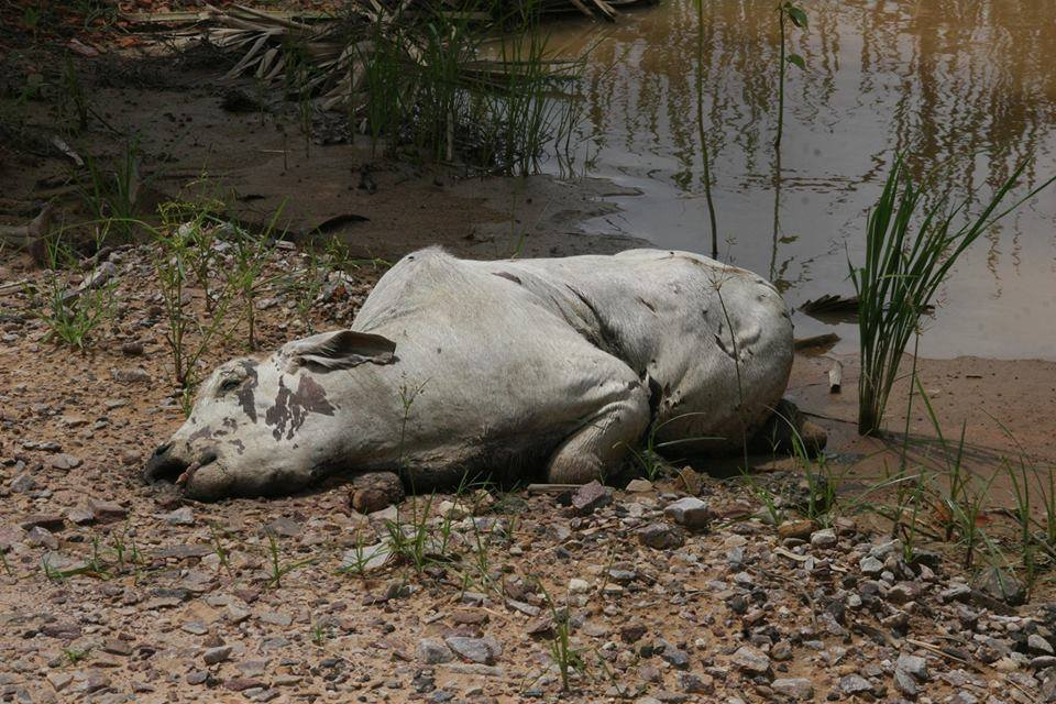 cow killed in floods bolivia