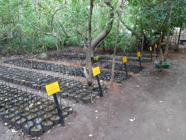 Mangrove nursery in Sri Lanka. Photo: Sudeesa