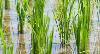 Grains in the Rain – New Study Opens the Door to Flood Resistant Crops